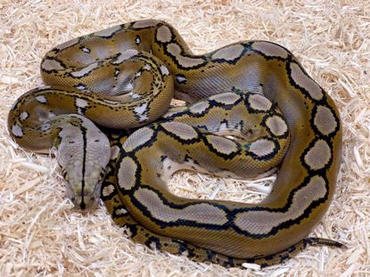 Picture of Dwarf Motley Reticulated Python