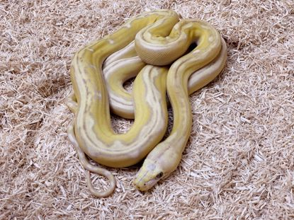 Picture of Jays Pick Male Phantom Motley Purple Albino Tiger Reticulated Python